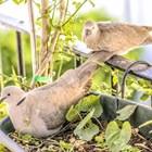 Средната дневна дажба фураж на ден за възрастен гълъб е 50 грама. Давайте вместо вода билкови чайове от лайка, а мащерка -за укрепване на имунната система на гълъбите.