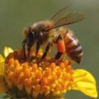 Генното инженерство, макар и бавно, ще навлезе и в пчеларство