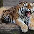Тигър вилнее на остров Суматра, уби фермер, докато сече дърва (Обновена)