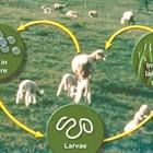 """Кръговратът на паразитната зараза: Яйцеклетки от възрастни паразити преминават във фекалиите, яйцата се излюпват в ларви, които попадат в тревата (и се придвижват нагоре по тревните остриета). При паша ларвите се поглъщат с тревата и се развиват в стомаха и червата. И всичко започва отново - така опразитените животни """"поддържат"""" високо ниво на паразити в ливадите."""