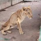 Ветеринари се борят за живота на изтощени лъвове в зоопарк в Хартум (Видео)