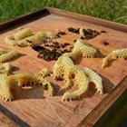Четиво за начинаещи пчелари:  Знаете ли как пчелите произвеждат восък?