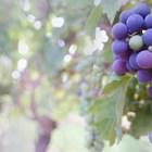 Еврокомисията приема нови извънредни мерки в подкрепа на лозари и винари