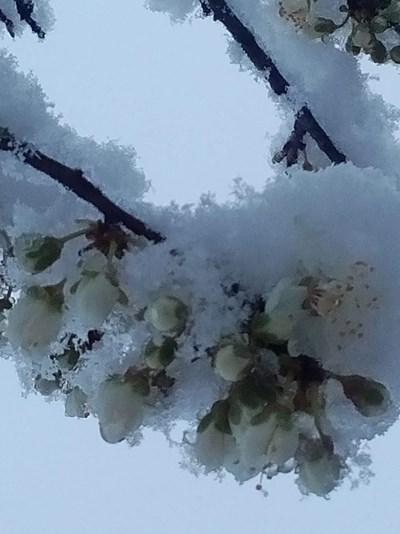 Снегът и студът поразиха нацъфтелите овошки СНИМКА: Радко Паунов