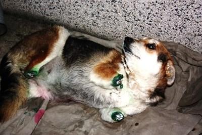 Жестокостта над кучето Мима, чиито лапички бяха отсечени, стана причина насилието над животни да влезе в Наказателния кодекс. СНИМКИ: АРХИВ