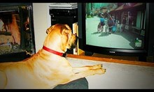 Кучета пред телевизора
