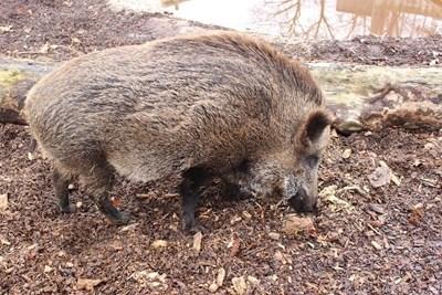 В Пернишка област са отстреляни над 40 диви прасета
