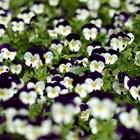 Предстоят сеитби на любими цветя