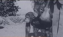 1927 г.: СССР кръстосва маймуни с хора. Ражда се СПИН