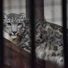 Вижте единствения у нас снежен леопард (Снимки)