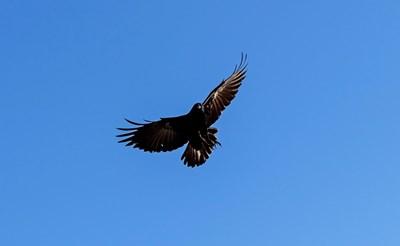 Резултат с изображение за Откриха коя е птицата с най-дълъг полет