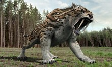 България е родината на страховития саблезъб тигър