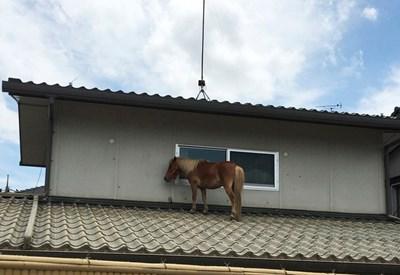 Кон се спаси върху покрив от проливните дъждове в Курашики, префектура Окаяма, в Япония. СНИМКА: РОЙТЕРС