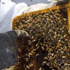 Сега пчеларят трябва да осигури оптимални условия за поддържане на висока яйценосна дейност на пчелната майка