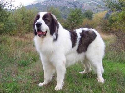 Кучето е порода каракачанска овчарка. Тази снимка е илюстративна. ИЗТОЧНИК: БЪЛГАРСКИ ФЕРМЕР