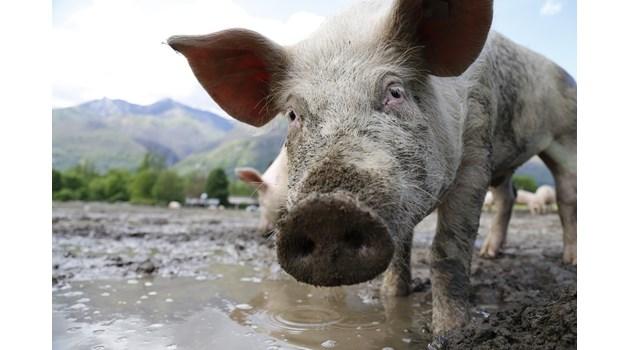 Откриха нов вирус в Китай - прилича на свинския грип от 2009 г., но може да се предава на хора и да доведе до епидемия