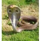 Така наречената Царска кобра Снимка: coonwood.ru