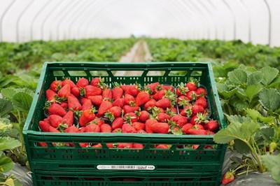 За месец и половина Kaufland България предложи близо 47 хиляди килограма ягоди от български производители