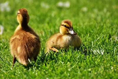 6000 патета с птичи грип ще бъдат избити
