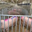 Защо за свинете майки осветлението е много важно?