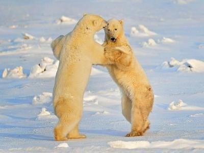 Полярни мечки. Снимка Архив