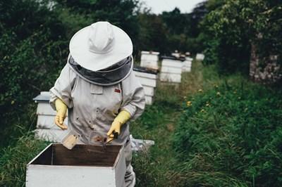 Без значение къде е ужилването, когато то е от пчела, най-важното е възможно най-бързо да се премахне жилото. СНИМКА: Pixabay
