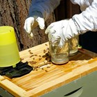 Внимание! Поради високите, почти летни температури в цялата страна, пчелите могат да бъдат хранени все още със захарен сироп. Защото средната дневна температура все още е над 10 градуса . Когато времето е хладно и дъждовно, правилото е този тип хранене да приключи най-късно до 5-10 октомври.