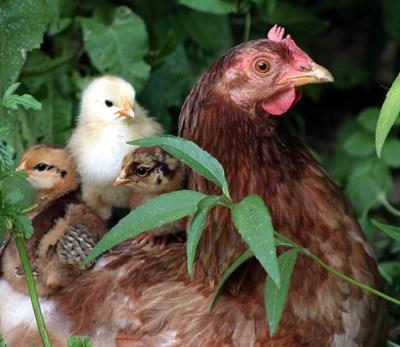 Пилешкото намалява заради инфлуенца по птиците и кризата, причинена от COVID-19.