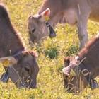 Всеки стопанин, който отглежда животни, трябва да знае, че от оборно към пасищно отглеждане и обратно трябва да се преминава постепенно.