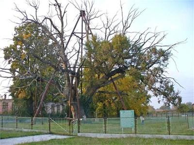 Летният дъб в село Гранит тази година навършва точно 1666 години, доказаха лесовъди. Днес е жив само източният му клон (вдясно). СНИМКИ: АВТОРЪТ