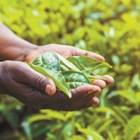 Изследователите демонстрират, че е възможно да се увеличи абсорбцията на цинк в моделни растения, но следващата стъпка е да се възпроизведат резултатите в реални култури. И те вече са на път към него. В момента резултатите от експеримента се повтарят върху бобови растения, ориз и домати.