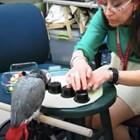 Снимка с папагала Грифийн от Харвартския университет.