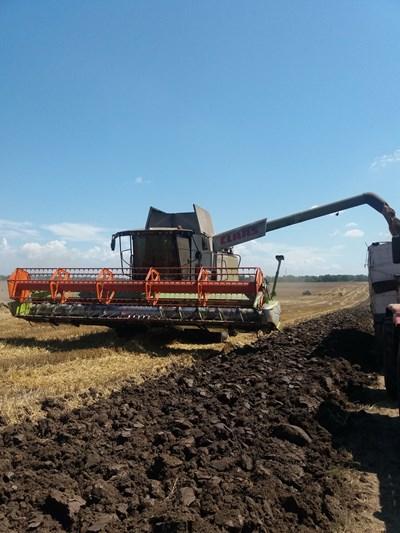 С около седмица се забави прибирането на пшеницата в Силистренско заради дъждовете. Снимки Авторката