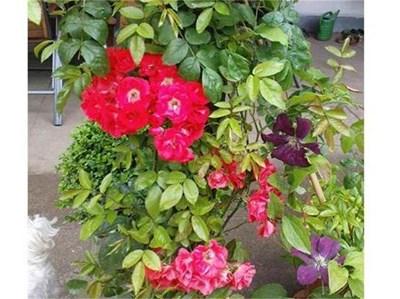 Комбинацията от увивна роза и клематис е мода, заимствана от средиземноморската традиция. През последните години смесени кътове изместват моноградините. СНИМКИ: АВТОРЪТ ЛЮБОМИРА НИКОЛАЕВА