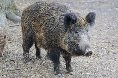Труп на умряло диво прасе бе открит в землището на село Деков. Снимка Архив
