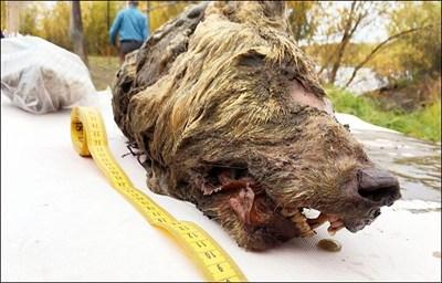 главата на чудовището е два пъти по-голяма от тази на съвременен вълк.