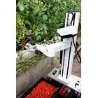 Робот бере зрелите домати