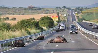 Труповете на биволите лежаха с часове на пътя от Кърджали за Хасково. СНИМКА: Делян Аврамов
