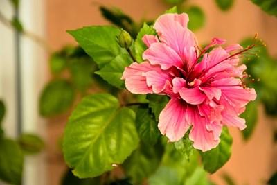 Градина: Как да се грижим за китайската роза