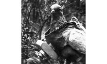 Германски гълъб - шпионин