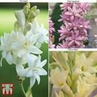 Полиантес тубероза -за парфюм в градината