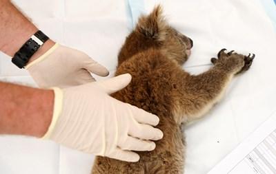 Ранена коала в Австралия