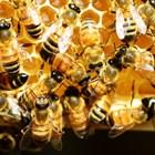 Често пчелари с по-малък опит разпространяват гъбичното заболяване аскосфероза с безконтролно пренасяне на пити с пило, мед, прашец и пчели от болни семейства в здрави.
