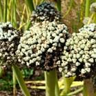 Отгледайте семена от лук