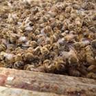 """Тази година пчелите могат произвеждат само """"жалки"""" количества мед, дори недостатъчно, за да се поддържат живи. През 2019 в Италия много пчелари намираха умрели пчелни семейства...от глад!"""