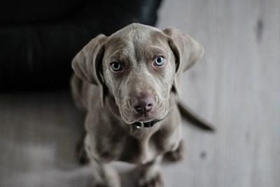 Британски учени са се заели да изследват дали кучетата могат да надушват пациенти с COVID-19 СНИМКА: Pixabay