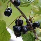 Касисът се смята за черното злато сред плодовете, затова напоследък масово се търси