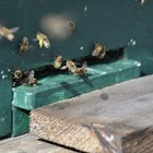 Внимавайте с подхранването. Защото несъобразеното пролетно подхранване с биологията на пчелите е причина за задържане на развитието на пчелните семейства.