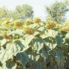 Слънчогледовите хибриди да са високодобивни и сухоустойчиви