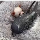 Гълъб, който не може да лети, се сприятели с кученце, което не може да ходи (Видео)